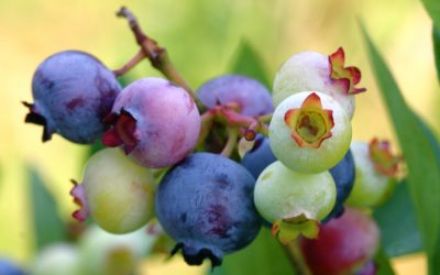 Practice-Building Lessons from the Blueberry Farm